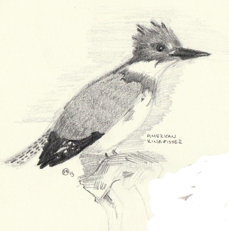 American-Kingfisher